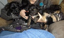 Born Oct 2, 2012 Yorkie Poo puppies, will grow to about 5-7 pounds. We own the mother and father and the puppies are very social and loveable. Tails and dew claws done. 2nd deworming done. $385.00 each.