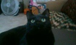 Black cat, green eyes,spayed,frount claws removed. emma is very loveable needs alot of attention. i am having to find her a new home the big dog chases her and shes not happy . emma is good with children and small dogs and other cats very laid back.if