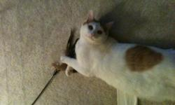 Great indoor or outdoor cat. Very playful and affectionate. Free litter box, cat crate, and all his favorite toys. All vaccinations up-to-date. Would make great addition to your family. Please call (304) 694-8478.