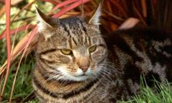 Free 1 yr old male tabby cat 337-478-6253