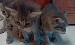 my cat had 8 kittens they are all 2 months old im looking somebody that would take good care of them u dont have to take all of them u can take as many as u want maybe somebody that u know would love one of them they very playful they can eat on they own