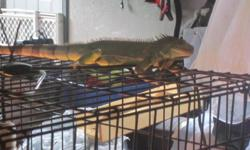 We purchased this iguana about 2 yrs ago, he's around a foot and half including the tale. He is outgrowing his cage and unfortunetly he's not paid attention tolike he used to be. The faster he can get another home the better.