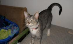 Extremely affectionate adult female cat free to loving home. Spayed and delawed, litter box trained. Prefers to be an only animal. Does well indoor/outdoor in a safe area. Calm, well behaved and looking for a forever home.