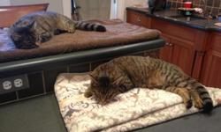 2 yr old gray tiger cats all are fixed & have shots. Mix of males & females. Used to large dogs. Please call --