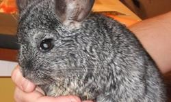 FREE CHINCHILLA'S TO GOOD CARING HOME. WELL BEHAVED & FRIENDLY. 1 GRAY MALE, DUSTY AND 1 WHITE FEMALE, SNOW(FLAKE). FOR PERSONAL CIRCUMSTANCES, I CAN NO LONGER CARE FOR THEM. MUST GO TOGETHER! email me at happigirl3 at yahoo dot com