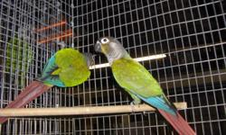 I'd like to find a free 5,6,7 month old green cheek conure, doesn't need to be hand fed or hand raised, female-- -- needher with cage on wheels brought to me because I can't drive. I live in beaver falls pa U.S. birds only. the picture shows my 2 conures