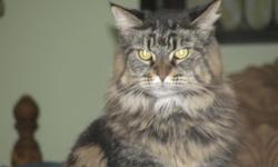 FREE FEMALE MAINE COON CAT WITH PAPERSTO GOOD HOME 957-5446