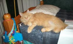 Free fluffy orange adult male cat. If you can provide a good home for Jake, please contact Karen McMillan at 405-239-6081 or email ksmcmillan8@yahoo.com.