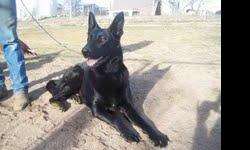 My uncle has a FREE black german shepherd mix dog he is exilent with kids and animals. He is about 1-1/2yearsold good Watch dog thats for shere. So if you want him please call me at989 670 7508 SERICE inquires only please. FREE to good home. Ps:As soon as