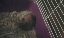 Free female guinea pig with bedding, food and hay. Will sell all previously listed along with cage, water bottle, and food dish for $15. Had about a month. Son is too young to understand how to play with it; therefore does not get much attention.