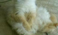 2 1/2 year old, white Himalayan cat needs loving home. Loves Dogs!