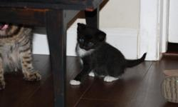 Black and white kitten. Born Dec 26th 2010, 8wks old day this was posted. Free, will deliver if needed. 561-688-3411.