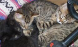 Free 8 week old kittens. Litter box trained. 2 females 2 males. Mom is loving and loves attention. She is 14 months old. Must get rid of the brood due to asthma. Please call or text me.