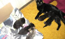 4 striped American Shorthair- 2 females/ 2 males and 1 Fluffy dark female. Ready to go Dec. 5th, 2010 litter-boxed trained. Send me email address and I will send other pics. Safety Adoption fee: $20 (refundable with copy of 1st Vet. Bill) 887-8285 or