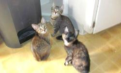 I have 3 kittens that need a good home. I have 2 tabby kittens, one male and one female. I also have one female calico kitten. They are all very friendly and trained to use the liter box. I am located in Norwalk, CA so if you are interested please email