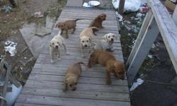 Lab/Ridgeback/Terrier Mix Puppies.. Blond and Brown All Girls need Shots