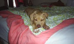 Digeo (pit bull) is looking for a good loving home! He loves kids and people, and if you love sweet out going dogs Digeo is your Man! He loves fetch, and toys. He is a tan, red nose american pit bull. He would pefer if he is the only dog in the