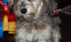 Free sweet Schnoodle to good loving home. Born 7/2010, Female, not spayed, 1st set of shots. Was given to us as a gift but we don't have time nor money to take care of a Puppy properly. Very good with kids and good natured. I will be willing to deliver. I