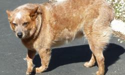6 year old Queensland Heeler (Australian Cattle Dog) She is up to date on shots 100% house broken, sweet friendly likes attention? but a good watch dog. She is over weight and is on a special diet, gets along with other dogs but should be fed separately