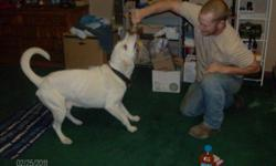 5 year old white lab shots, great w kids house broke, moving n he cant go w/