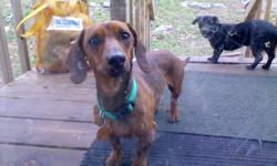 Male dachshund(red), house broken, loves to ride in car, shots and rabies vaccinated, wormed, very sweet but timid around small children.
