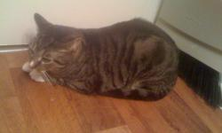 Beautiful small female cat. She is litter trained, flea free, and fixed(sterilized). She had all her shots a little over a year ago. She was born and has lived inside 2nd floor apt her whole life. She is about 2 1/2 yrs old. Calm temperament, a little