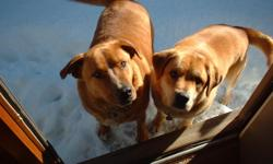Two mid size golden lab mix dogs, brothers. House and leash trained, semi-voice trained. Good fun loving family and watch dogs. Neutered. Have current shots. 361.852.4949