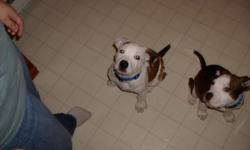 two male pitt bulls 2 years old need lots of love and pleanty of room to run only to a good home