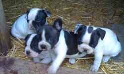 1 Female, 2 Males Black and white french bull dog puppies. 9 weeks old, ready for a loving home. Very cute! Guaranteed health, don't miss out!