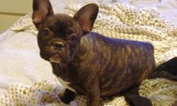 Beautiful french bulldog, Licensed in Denver, All shots up to date, 9 months old, reversed brindle color (brown with black), very friendly, loves other dogs, kids