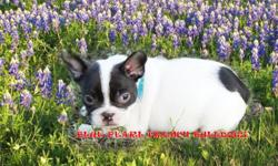WE HAVE COUPLE LITTERS,TRI BLUE AND CHOCOLATE LITTER. ALSO OTHER RARE COLORS LITTER, VISIT OUR WEBSITE TO VIEW MORE PHOTOS AND IN FORMATION. www.bluepearlfrenchbulldogs.com AND JUST CLICK ON AVAILABLE PUPPIES LINK/SITE AND SCROLLDOWN  SLOWLY,SERIOUS