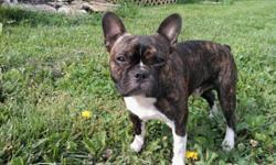 1 yr old male french bull dog and boston terrier mix. very friendly, loves all animals and kids. hes is not been fixed.