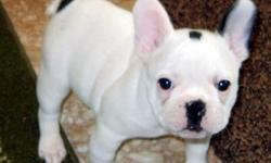 Cherrishabull Kennel now has Frenchies for sale. Only 2 left! White with black spots with pedigrees, AKC papers, all shots, wormings, 2 year health guarantee, medical records and more! Raised in our home with lots of love and what we think is the best