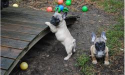 French Bulldog puppies ready for duty, they will grow up here with a lot of love in the house with kids, cats and other dogs. We will socialize the puppies well and prepare for their future life as a family pet. The puppies are ready for duty and have