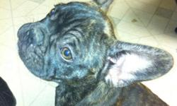 AKC reverse brindle male born 8-30-2012 all shots