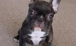 French Bulldog puppies AKC Champion sired 2 males and 1 female