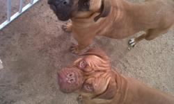 for who dont know these puppies are like the dog on Turner & Hootch. call for more info. 561-688-4087