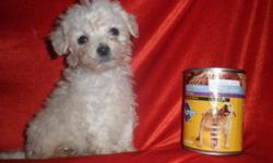Toy Poodle, Male, Female, Small, $475.00 Firm