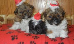 Beautiful AKC registered pups for sale. 3 boys and 3 girls. All will be vet checked, have first shots and deworm, and be genetically tested for defects. These pups have excellent lines. I have plenty of references if desired. Like a big dog in a small