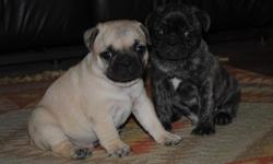 1/2 Frenchie 1/2 Pug=Fruggies! 2 males/ 6 weeks old/eating well, using pads, wormed.