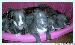 6 week old blue pittbull puppies had 11 down to 5. they have their first shots. any questions please call 0r