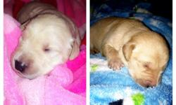 Two left! One female & one male. We have a litter of full blood lab puppies. Born on 12/6/12. They will be dew-clawed, dewormed, and will have thier first round of shots before leaving for their new homes. Father is English, (Blocky, stalky, sweet
