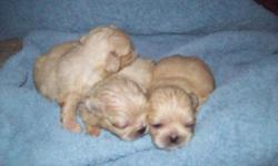WE HAVE 3 MALE PEKINGNESE PUPPIES FOR SALE. THEY ARE 2 WEEKS OLD AND ARE ALL 3 A LIGHT CREME COLOR. THEY ARE HEALTHY AND VERY VIBRANT PUPS. THEY ARE REGISTERED WITH THE ACA AND WILL COME FULLY VACCINATED AND FREE OF WORMS AND PARASITES. THIS WAS THEIR