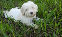 Full blooded Bichon puppies. These dogs have a wonderful temperament. These dogs love to play, and they want you to play with them. They never really get mad, and they have not been known for puppy biting. These dogs are also know, to get along with just