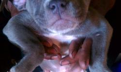 Full Blooded Pitbull Puppies for sale the Mother is Full Blue Nose and the Father is Blue Nose Brindle. The Puppies are all Grey with slight unique white markings. There are Male and Females available. They are ready for a new home as of December 9th.They