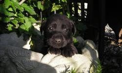 We have full blooded lab puppies. These beautiful puppies are very loving and gentle puppies. They learn very quickly and love to be held. females 300.00 males 250.00 First shots and worming done. call 937-726-two one eight nine