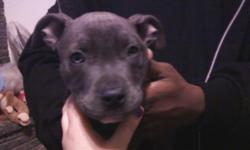 Blue Nose pit, 2 1/2months, potty trained & has had all shots & very friendly & good with kids.