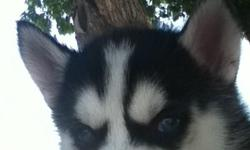 I am selling my full bread Siberian Husky Puppies, only asking $350 for males and $400 for females. I have both colors, black and white, and also tan and white. All puppies have ice blue eyes. Both Mother and Father On Site, have had first shots, deworm,