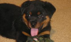 Rottweiler German AKC Female / Champion Bloodline / (BLACK RAVEN'S Female) 7 week old Female available  Our kennel is located in Tallmadge, Ohio. ( 2 miles east of Akron.)  We are breeding the old style German conformation quality. We