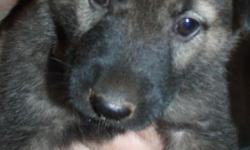 We have 5 German Shepard Akita mixed puppies born on the 4th of July. Will be very large dogs. Both mother and father on premises. If you would like some pictures of the puppies, mother, or father please contact us.